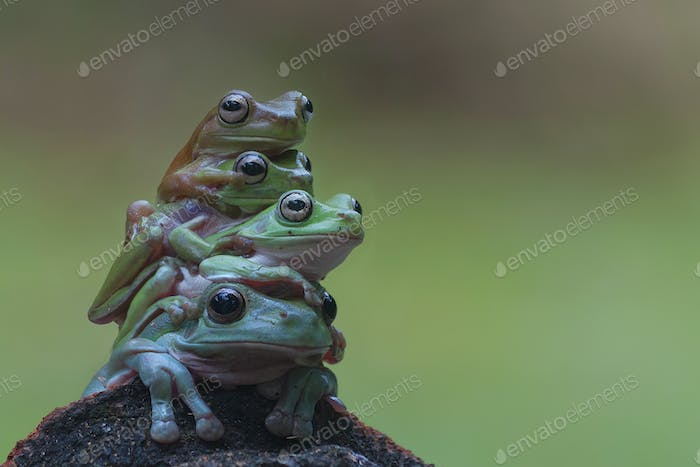 Four Tree Frogs Flying Frog Sitting on a Stone with Bokeh Background