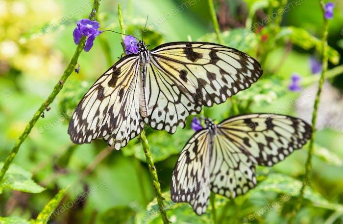 Cremefarbene und schwarze Schmetterlinge