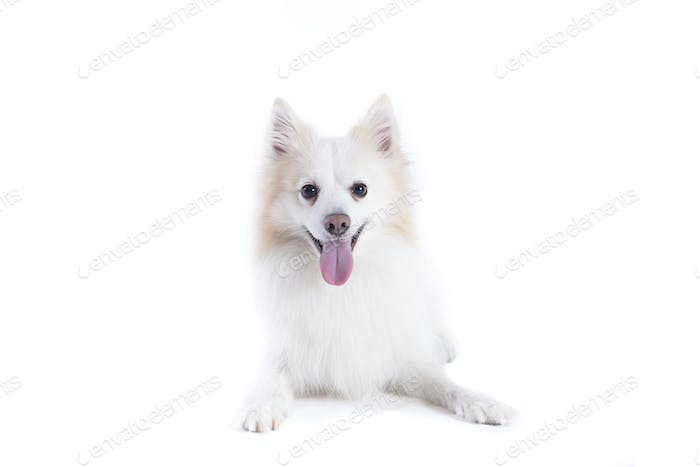 isolated portrait of a german spitz lying and facing the camera