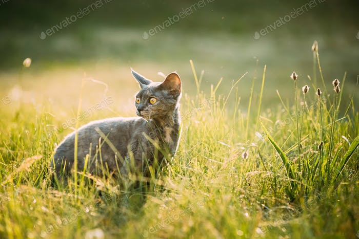 Funny Young Gray Devon Rex Kitten Sitting In Green Grass. Short-