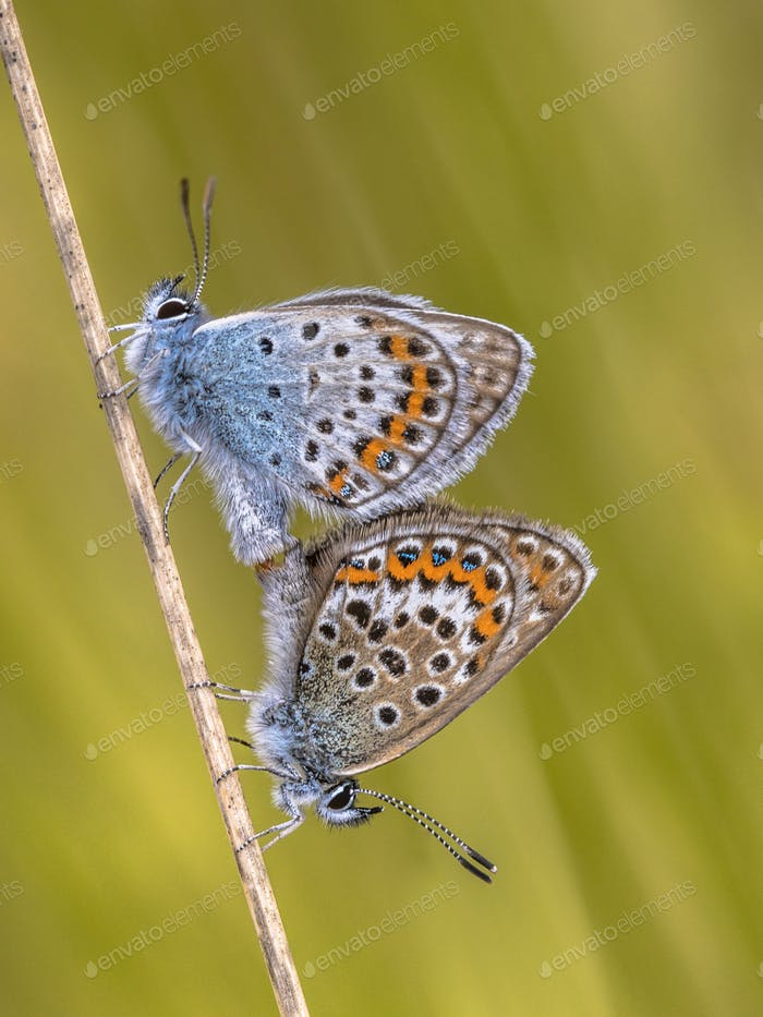 silver studded blue butterflies mating