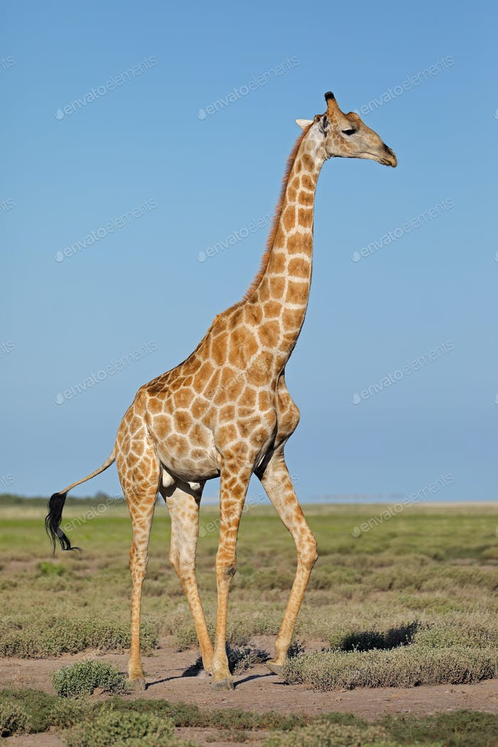 Giraffe on Etosha plains