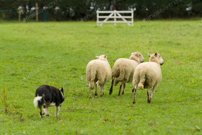 Welsh Border Collie Rounding up Sheep