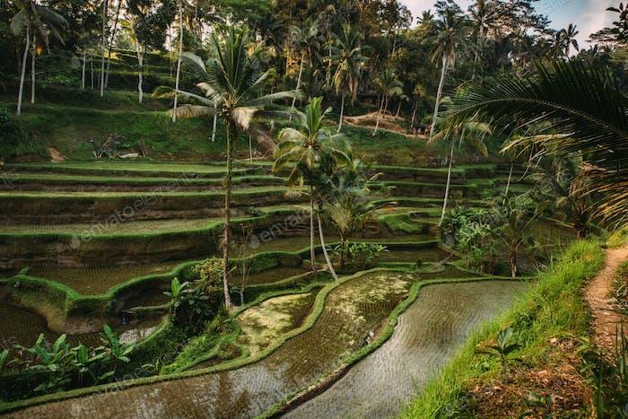 Cultivo De Arroz En Bali Indonesia Terrazas De Arroz Con El Cielo Reflejando Durante La Hora Dorada Por La Noche Foto De Stockcentral En Envato