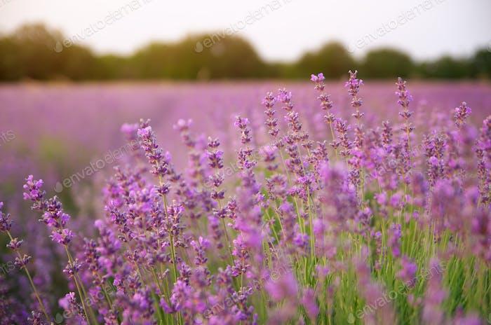 Lavender closeup nature.