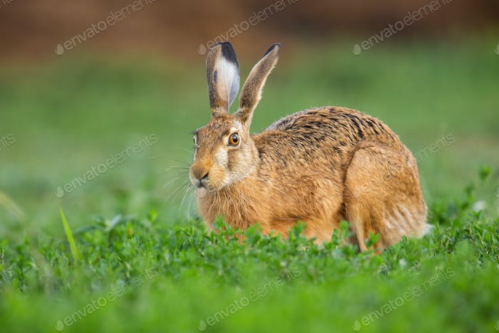 Brown hare looking on grass in springtime nature