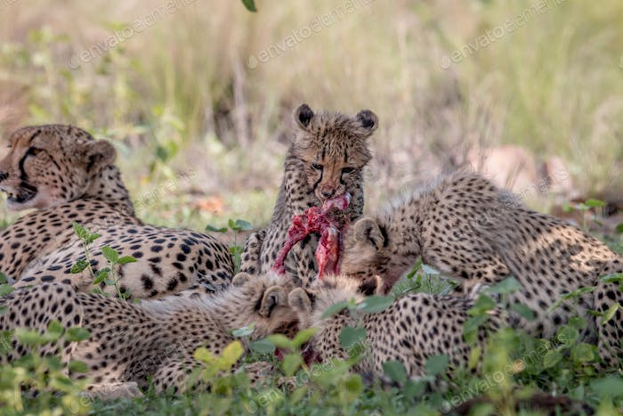 Mother Cheetah and baby cubs feeding on an Impala.