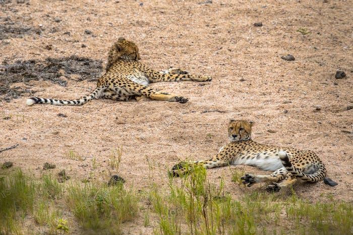 two Cheetah resting