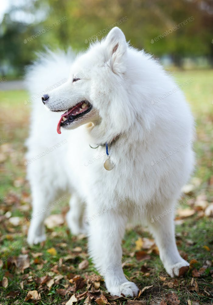 Samoyed dog in autumn park