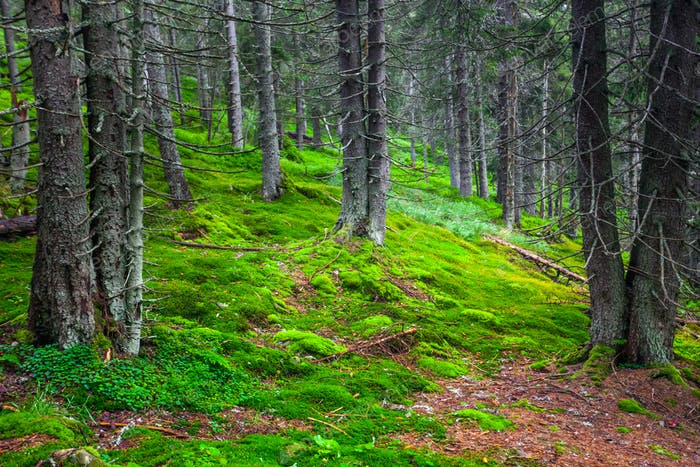 Grüner Kiefernwald