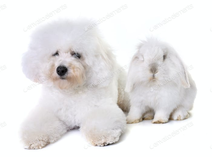 bichon frise and bunny