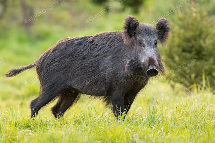 Wild boar standing on green pasture in spring nature