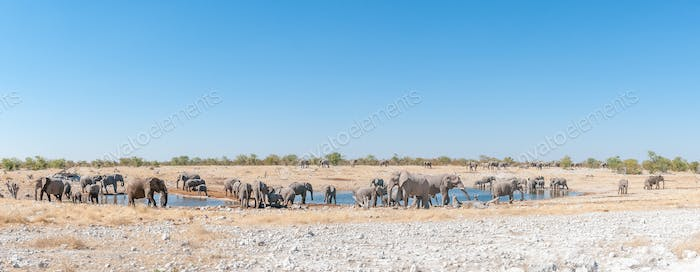 Panorama of herd of African elephants at waterhole in Namibia
