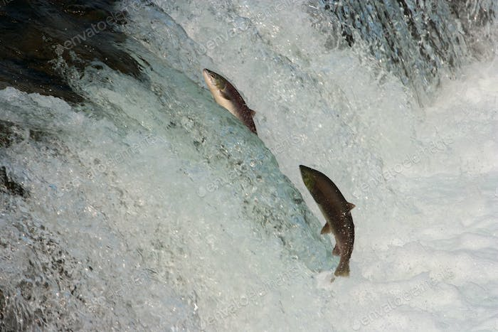 Two salmon leaping upriver against the current.