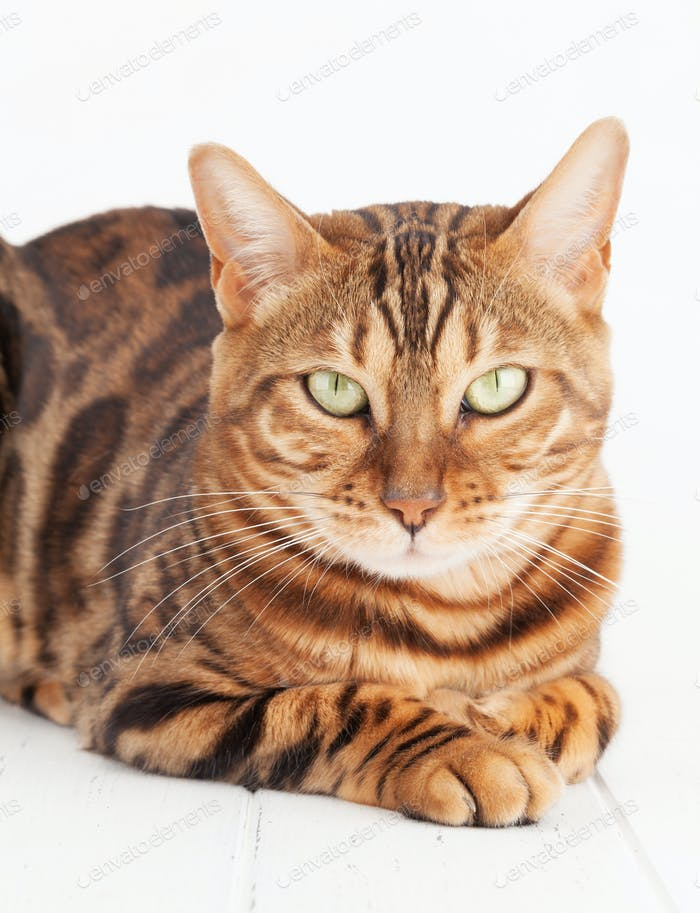 Bengal cat lying on white wooden floor