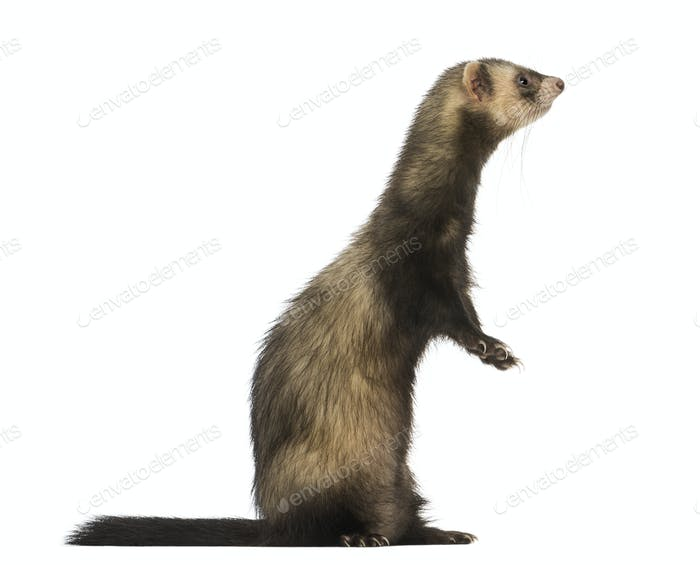 Side view of a Ferret standing on hind legs, isolated on white