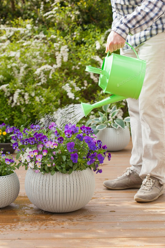 man gardener watering pansy flowers in garden