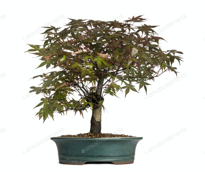 Maple bonsai tree, isolated on white