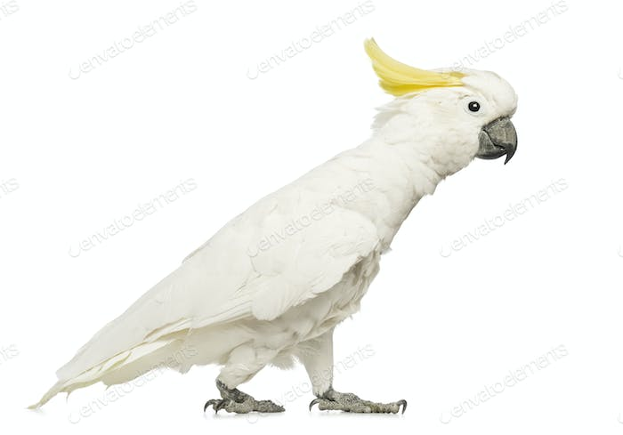 Sulphur-crested Cockatoo, Cacatua galerita, 30 years old, walking in front of white background