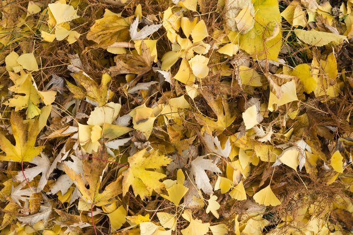 Yelow and brown fallen leaves