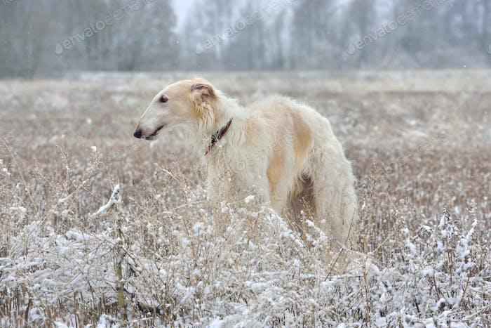 Russian borzoi on snow
