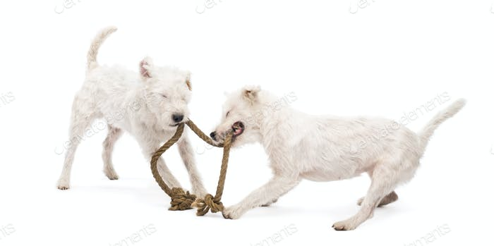Parson Russell terriers playing with a rope against white background