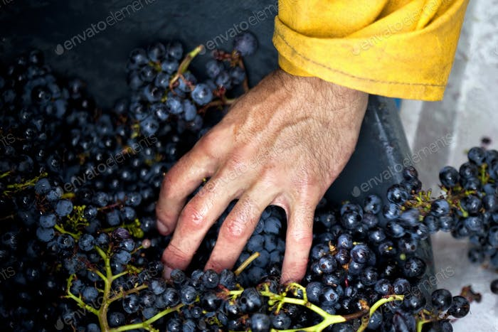 Hand and grapes