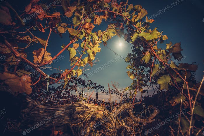 Vineyard with autumn foliage