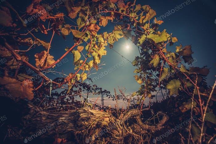 Vineyard with autumn foliage