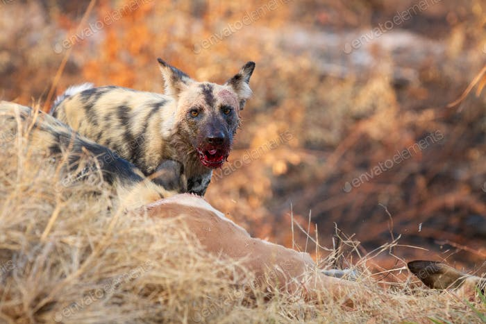 A wild dog, Lycaon pictus, has a mouth covered in blood, ears back, direct gaze
