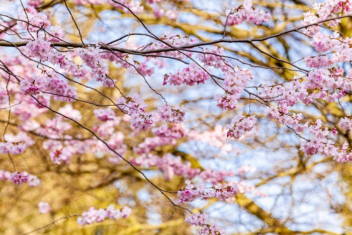 Cherry Tree In Spring. Sakura Flowers Background