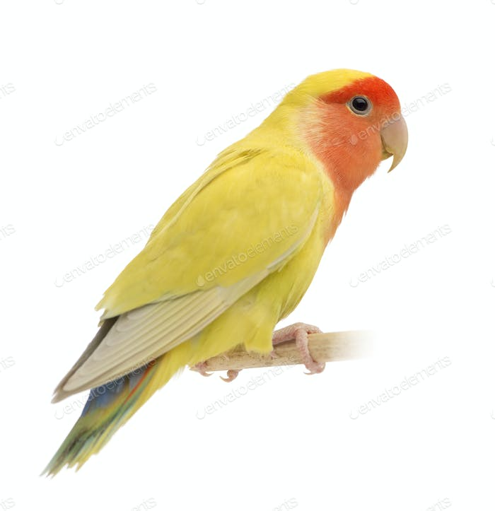 Rosy-faced Lovebird, Agapornis roseicollis, also known as the Peach-faced Lovebird