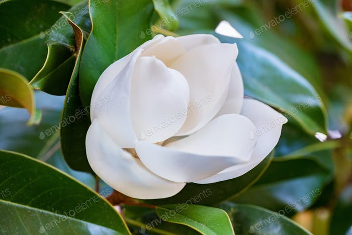 Close up beautiful white magnolia flower on a tree with green leaves