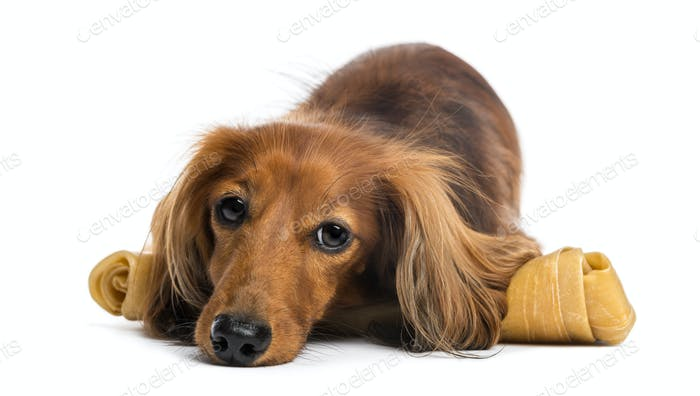 Dachshund, 4 years old, lying on bone against white background