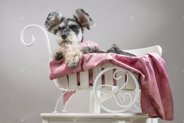 Dog miniature schnauzer in a hat lies in a white carriage