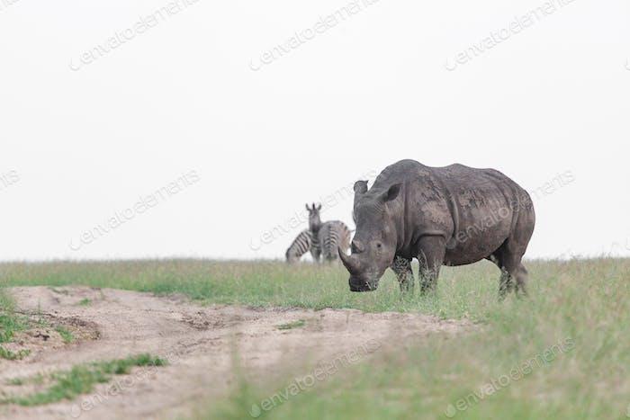 A white rhino, Ceratotherium simum, with zebra in the background, Equus quagga