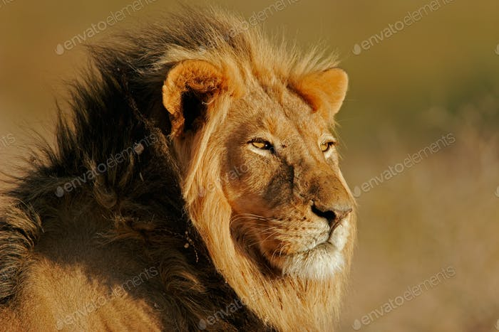 Big male lion