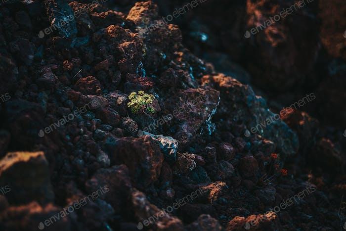 a single plant growing on volcanic rocks