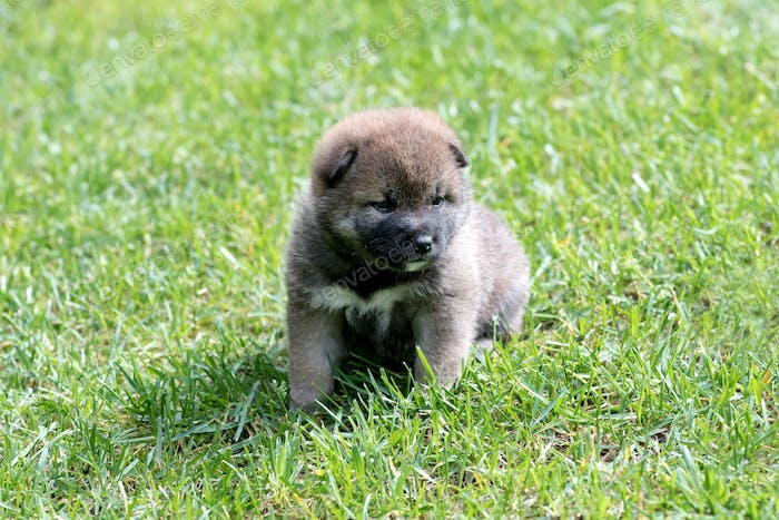 Light brown shiba inu puppy dog