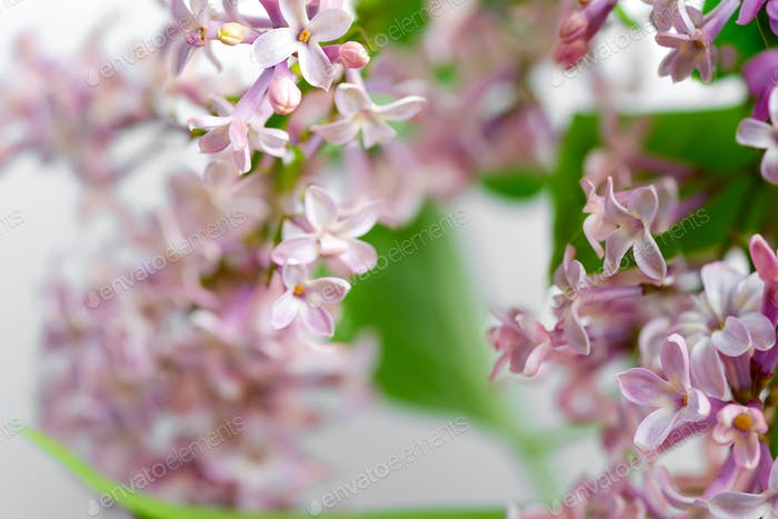 Blooming natural close-up backdrop from fresh lilac flowers with green leaves on a blurred