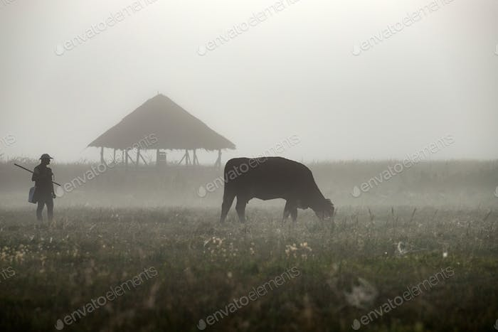 Silhouette of cow graze on a farmland.