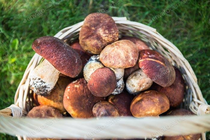 Freshly Picked Mushrooms Boletus in the Basket