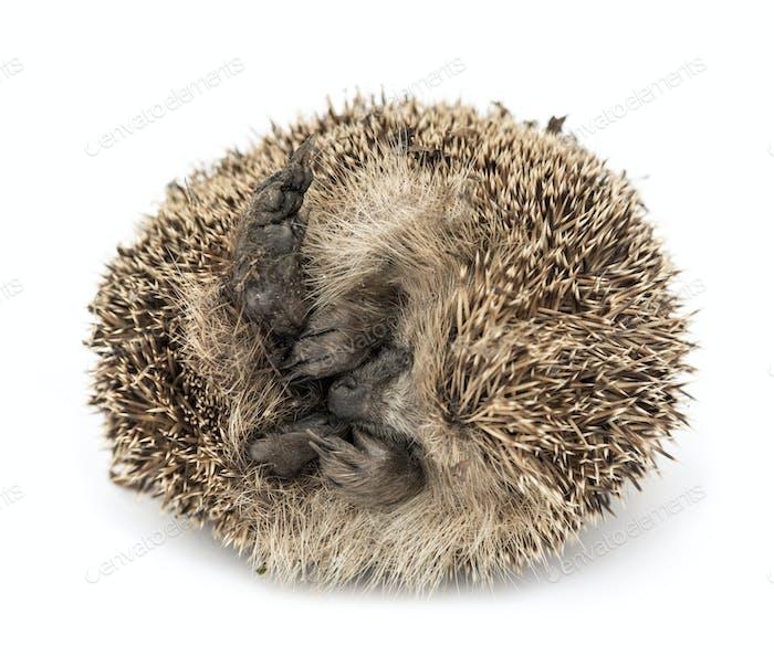 Dead Common hedgehog, Erinaceus europaeus, isolated on white