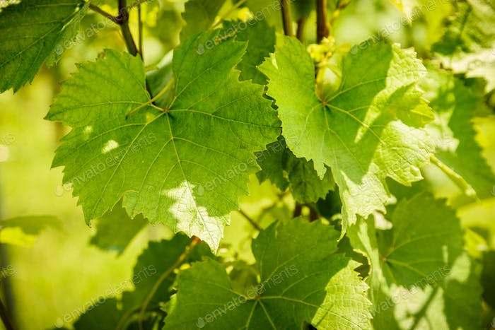Grapes leaves in sun