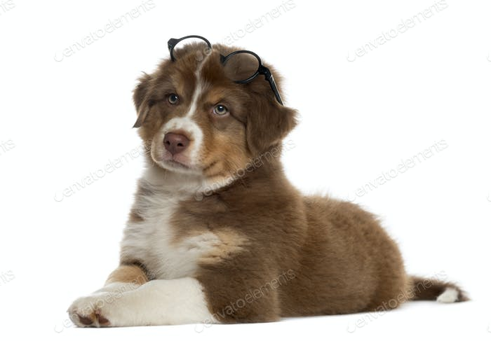 Australian shepherd puppy wearing glasses, isolated on white