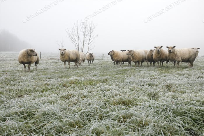 sheep herd on winter pasture in fog
