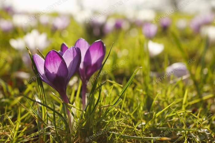 purple crocus flowers close up outdoors