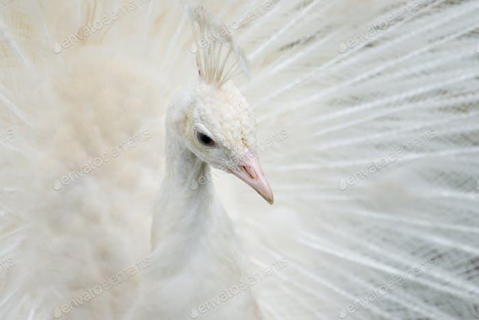 Porträt eines weißen Pfau