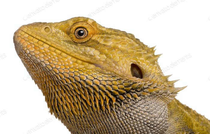 Close-up of Lawson's dragon, Pogona henrylawsoni, against white background