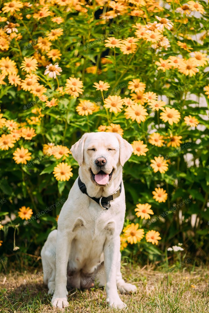Smiling With Close Eyes Yellow Golden Labrador Female Dog In Sit